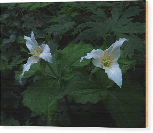 Trillium's Of The Wildwood Wood Print by Charles Lucas