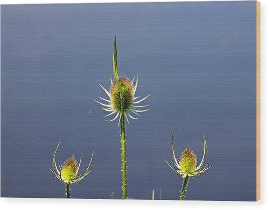 Trio Of Teasels Wood Print