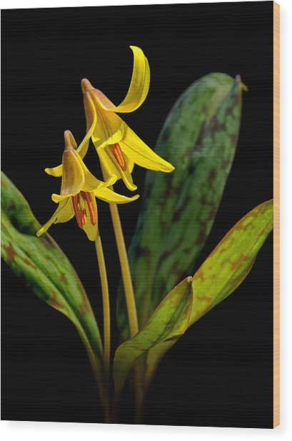Trout Lilies Wood Print