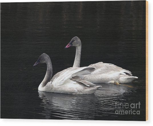Trumpeter Swan Cygnets Wood Print by Sharon Talson
