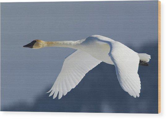 Trumpeter Swan, Winter Flight Wood Print by Ken Archer
