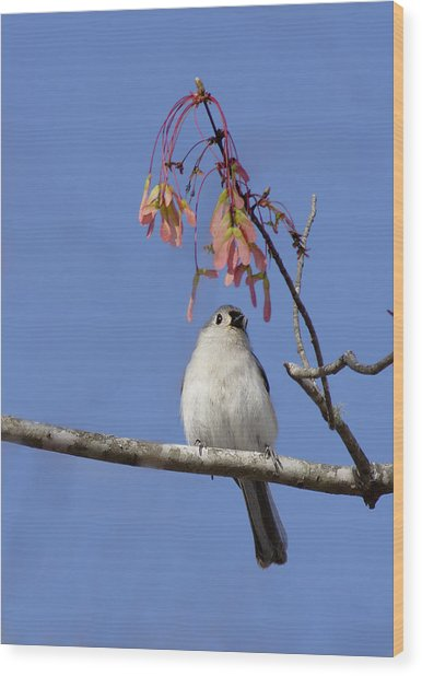 Wood Print featuring the photograph Tufted Titmouse And Maple Keys by Daniel Reed