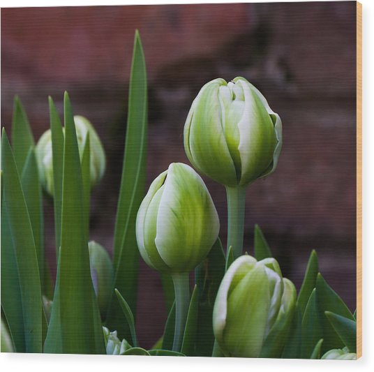 Tulip Buds Wood Print