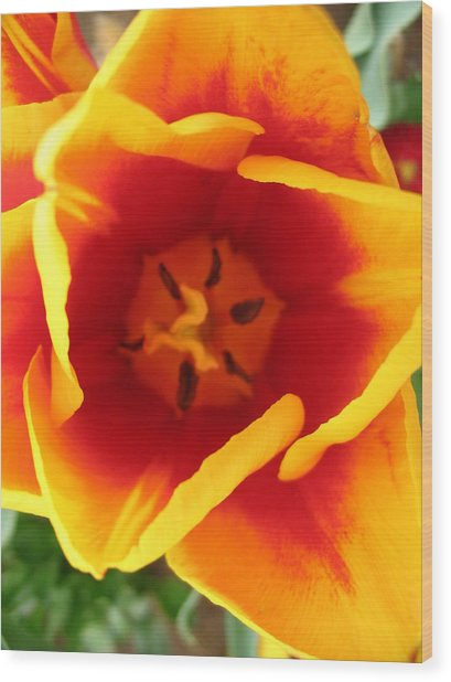 Tulip Close Up Wood Print