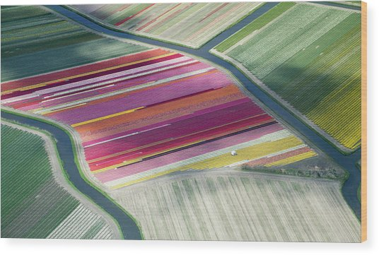 Tulip Fields, Aerial View, South Wood Print by Frans Sellies