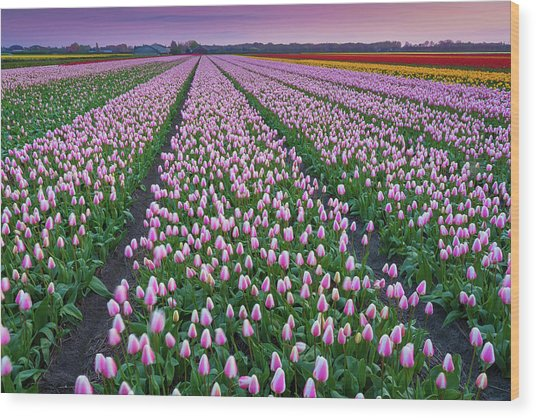 Tulip Fields In The Netherlands At Dusk Wood Print by Peter Zelei Images