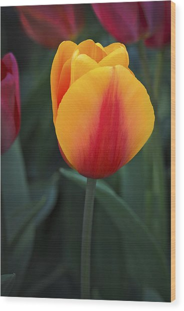 Tulip Flame Wood Print by David Lunde
