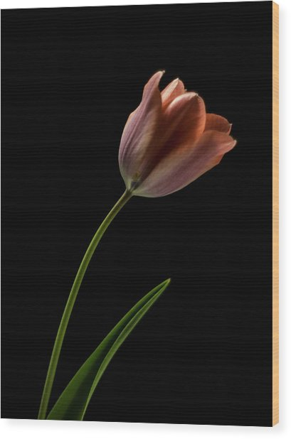 Tulip In Quiet Light Wood Print