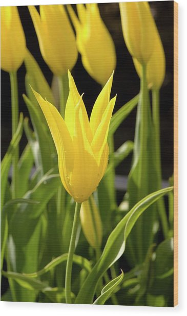 Tulip (tulipa 'westpoint') Wood Print by Adrian Thomas/science Photo Library
