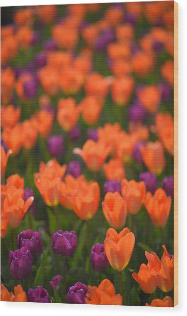 Tulips At Clevelands Botanical Gardens Wood Print