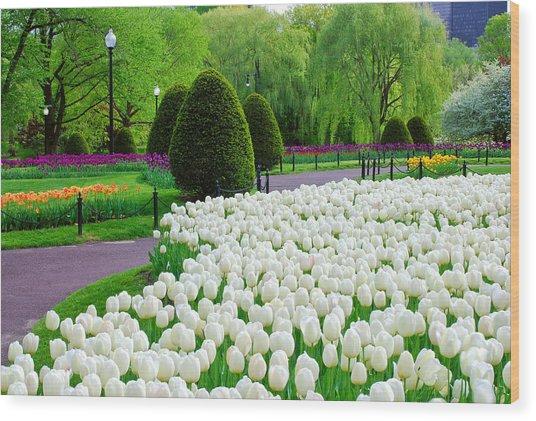 Tulips Boston Public Gardens  Wood Print