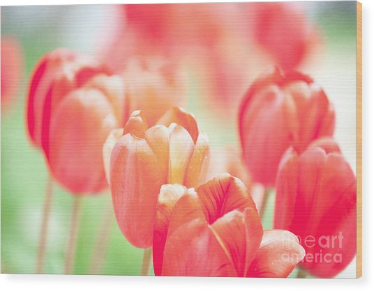 Tulips In The Sun Wood Print