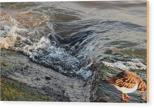 Turnstone By The Water Wood Print
