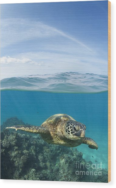Turtle At Black Rock Wood Print