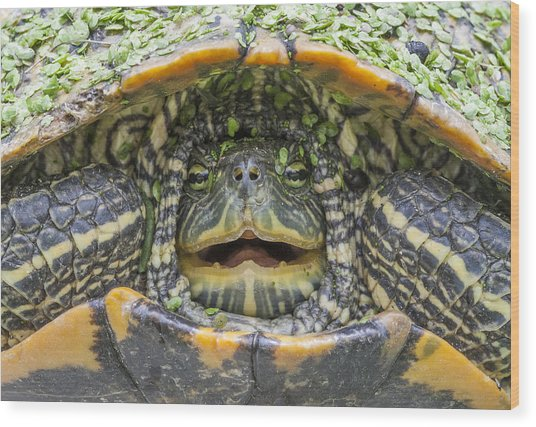 Turtle Covered With Duckweed Wood Print