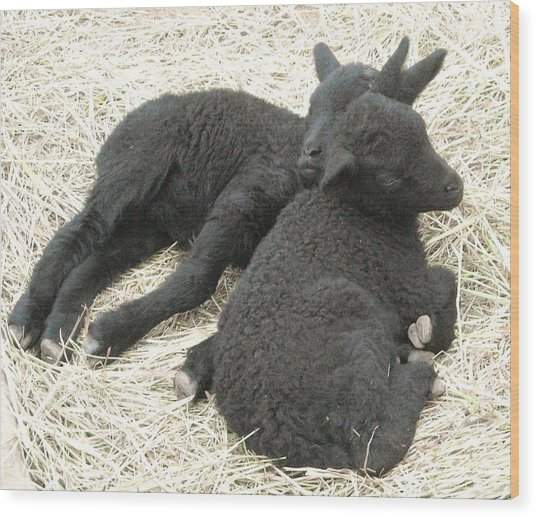 Twin Black Lambs Wood Print