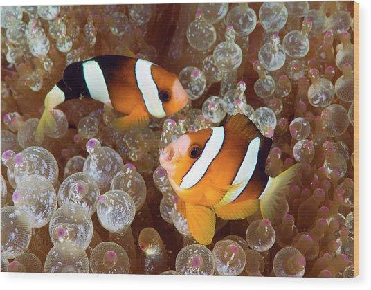 Two Anemonefish Swim Among Poisonous Wood Print