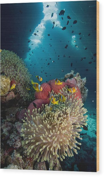 Two-banded Anemonefish And Bulb Wood Print