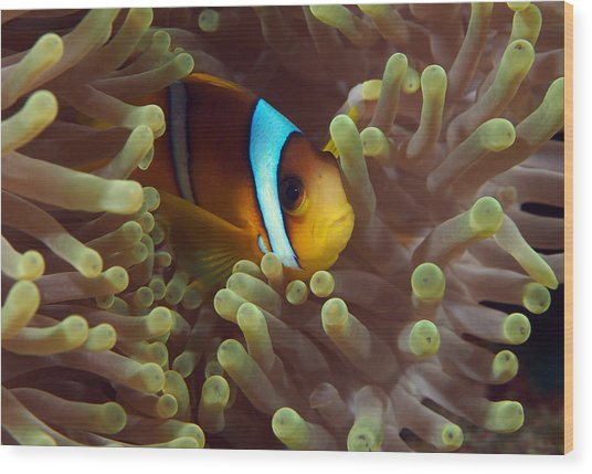 Two-banded Anemonefish Red Sea Egypt Wood Print