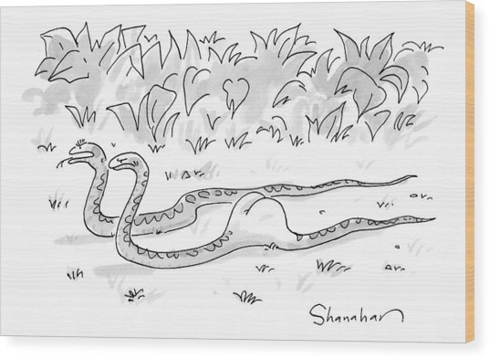 Two Boa Constrictors Slither Along. One Has Eaten Wood Print