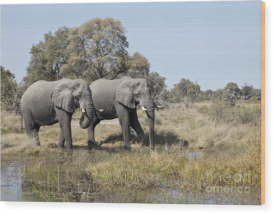 Two Bull African Elephants - Okavango Delta Wood Print