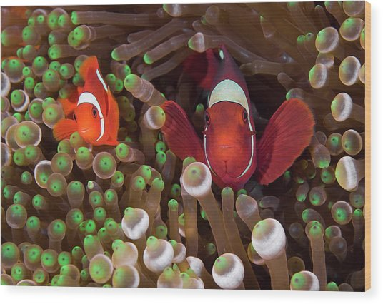 Two Clownfish (amphiprion Ocellaris Wood Print