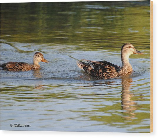 Two Ducks Swimming Wood Print