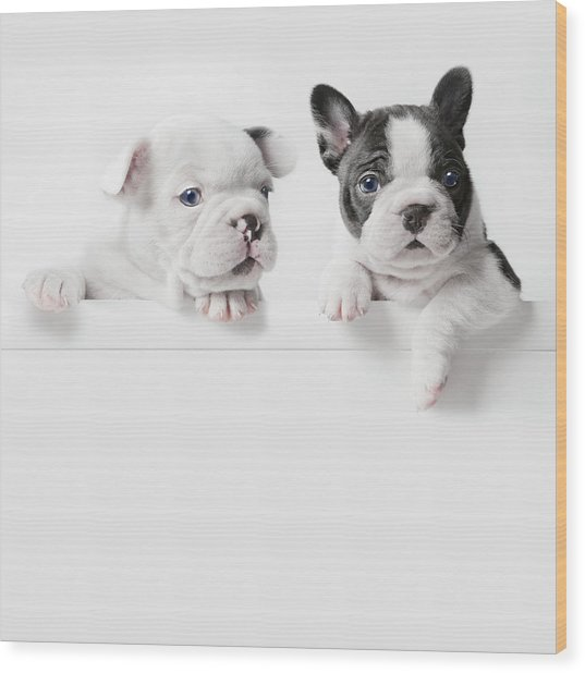 Two French Bulldog Puppies Peer Over A Wood Print by Andrew Bret Wallis