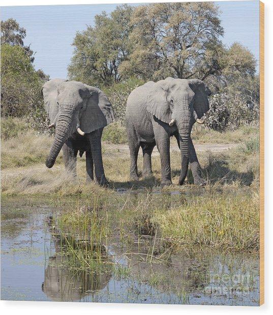 Two Male Elephants Okavango Delta Wood Print