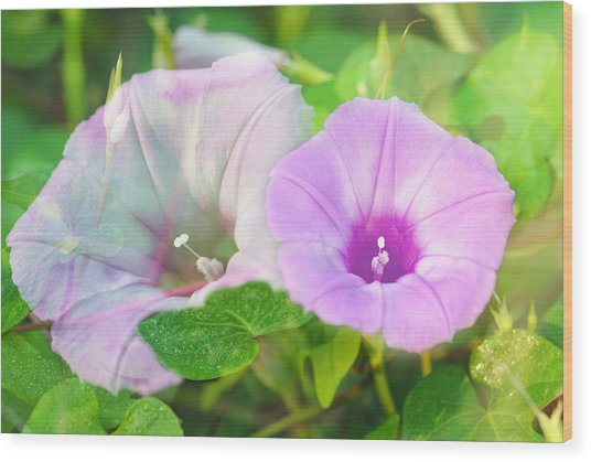 Two Morning Glories Wood Print