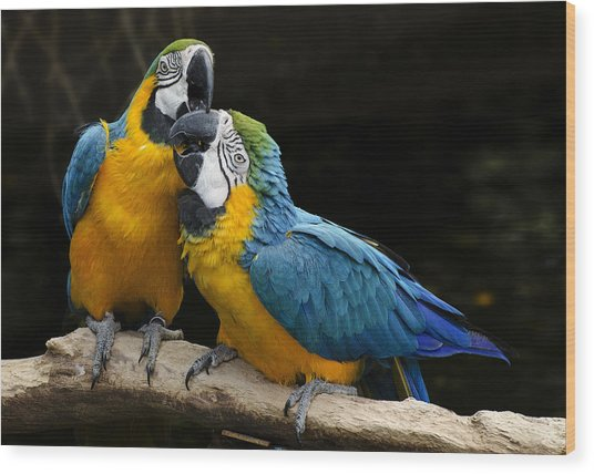 Two Parrots Squawking Wood Print
