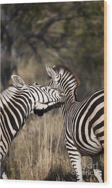 Two Plains Zebra Botswana Wood Print