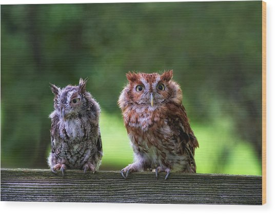 Two Screech Owls Wood Print