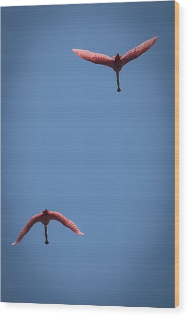 Two Spoonbills Overflying The Swamp Wood Print