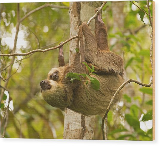 Two-toed Sloth Wood Print by Brian Magnier