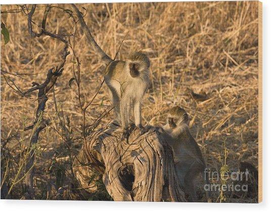 Two Vervet Monkeys Wood Print by Chris Scroggins