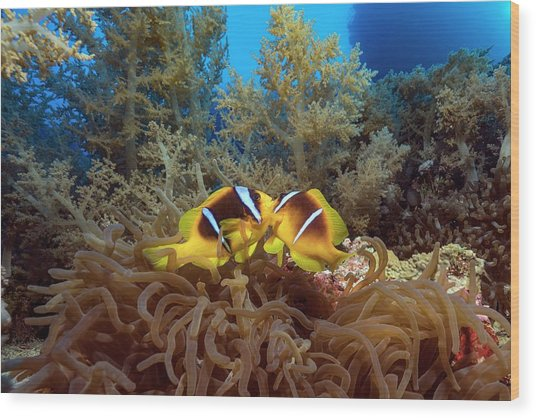 Twoband Anemonefish In An Anemone Wood Print by Alexis Rosenfeld/science Photo Library