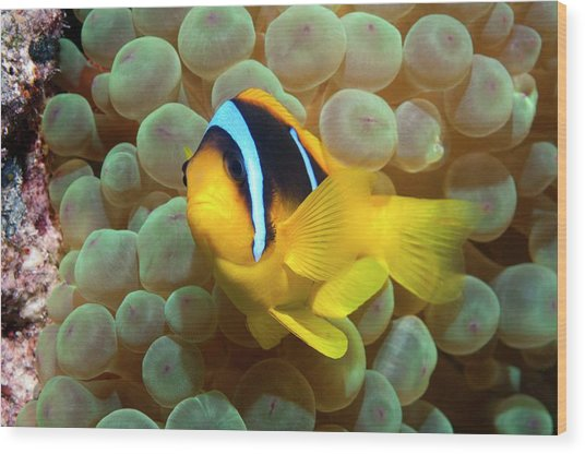 Twoband Anemonefish In An Anemone Wood Print