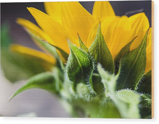 Under A Sunflower Wood Print