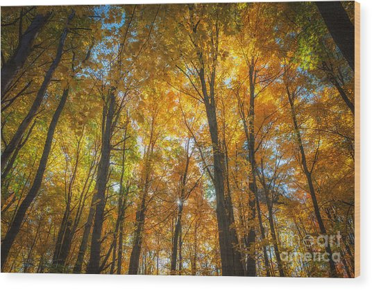 Under The Golden Canopy Wood Print