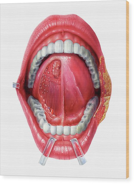 Underside Of The Tongue Wood Print by Bo Veisland/science Photo Library