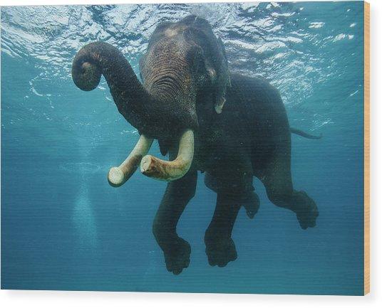 Underwater Elephant Wood Print