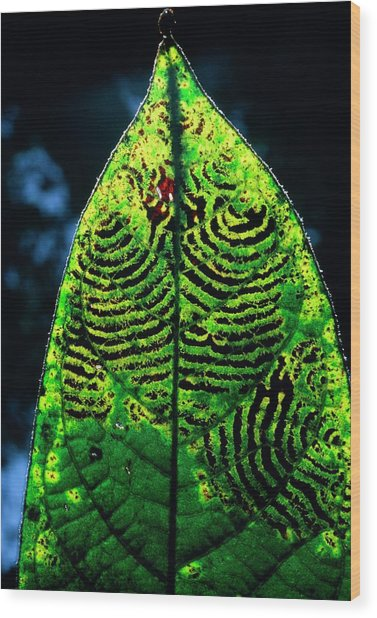 Unidentified Fungus On Rain Forest Leaf Wood Print by Dr Morley Read/science Photo Library