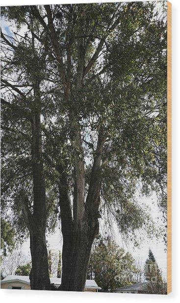 Up-view Of Oak Tree Wood Print