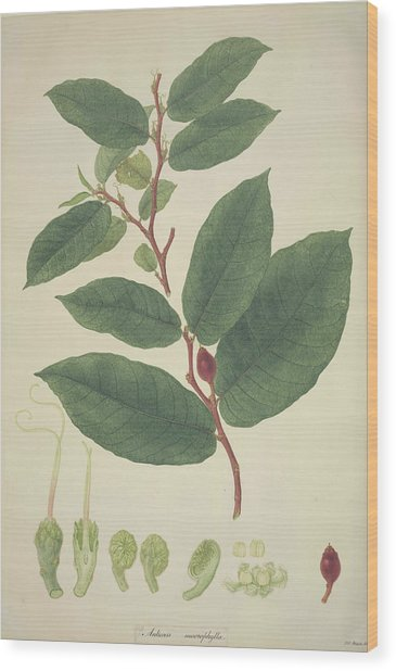 Upas Tree Leaves Wood Print by Natural History Museum, London/science Photo Library