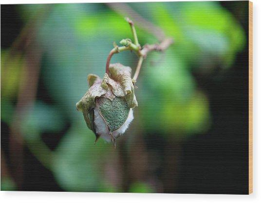 Upland Cotton (gossypium Hirsutum) Wood Print by Sam K Tran/science Photo Library