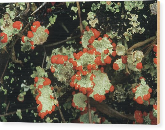 Upland Lichen Wood Print by Bob Gibbons/science Photo Library