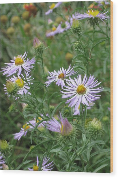 Uplifted Asters Wood Print