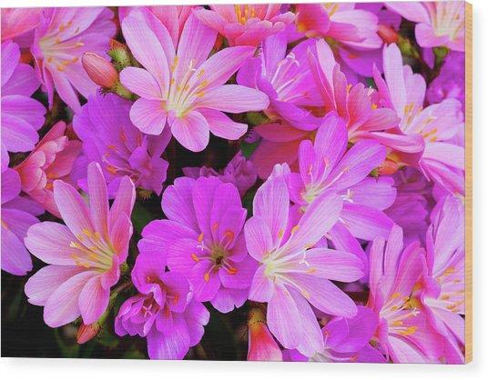 Usa, Oregon Columbian Lewisia Flowers Wood Print by Jaynes Gallery