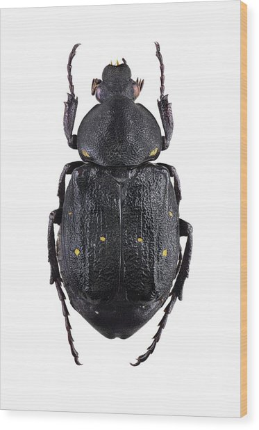 Variable Chafer Wood Print by F. Martinez Clavel